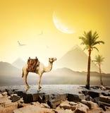 Верблюд и луна стоковые изображения