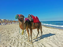 Верблюд идя на пляж стоковые изображения