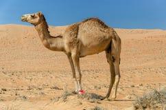 Верблюд идя через пустыню Стоковая Фотография