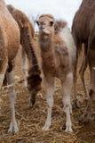 Верблюд младенца Стоковые Изображения