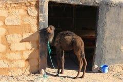 Верблюд младенца Стоковое Изображение RF