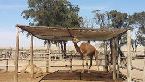 Верблюд младенца Стоковые Фото