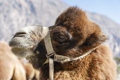 Верблюд на Индии Стоковые Изображения