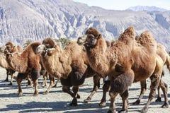 Верблюд на Индии Стоковые Изображения RF