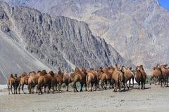 Верблюд на Индии Стоковая Фотография
