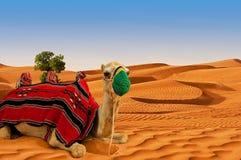 Верблюд на песчанных дюнах стоковое изображение rf