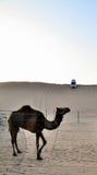 Верблюд на предпосылке дюны, Дубай Стоковые Фото