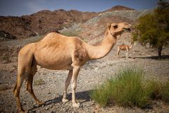 Верблюд на пустыне стоковые изображения