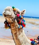 Верблюд на пляже. Стоковая Фотография