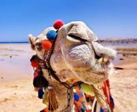 Верблюд на пляже. Стоковое фото RF