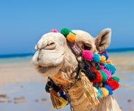 Верблюд на пляже Стоковое фото RF