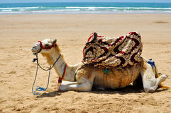 Верблюд на пляже Стоковое Изображение