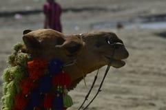 Верблюд на пляже Стоковые Изображения RF
