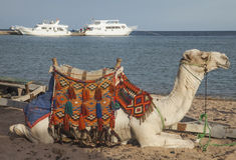 Верблюд на пляже Стоковое Фото