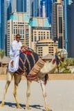 Верблюд на пляже Jumeirah в Duba Стоковые Изображения RF