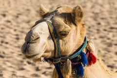 Верблюд на пляже Jumeirah в Duba Стоковое фото RF
