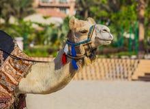 Верблюд на пляже Jumeirah в Duba Стоковая Фотография RF