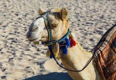 Верблюд на пляже Jumeirah в Duba Стоковая Фотография