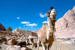 Верблюд на ските St. Catherine�s стоковая фотография