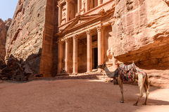 Верблюд перед казначейством, Petra Стоковое Изображение RF