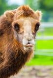 Верблюд показывает его язык Стоковые Фото