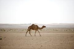 Верблюд пустыни Стоковое Изображение RF