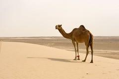 Верблюд пустыни Стоковая Фотография RF