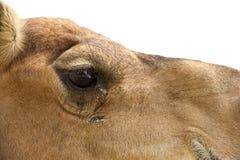 Верблюд пустыни Стоковое Изображение
