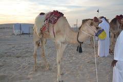 Верблюд пустыни Стоковые Фото