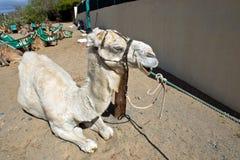 Верблюд дромадера альбиноса Стоковая Фотография RF