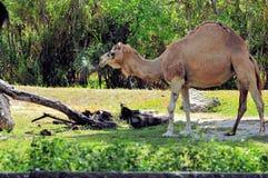 Верблюд дромадера в зоопарке Стоковые Изображения