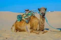 Верблюд дромадера в пустыне Сахары, Тунисе, Африке Стоковое Изображение RF