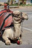 Верблюд дромадера около Иерихона Стоковое Фото