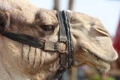 Верблюд дромадера около Иерихона Стоковые Фотографии RF