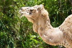 Верблюд дромадера также знает как аравийский верблюд и индийский верблюд Стоковые Изображения