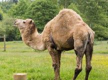 Верблюд дромадера Стоковые Фотографии RF
