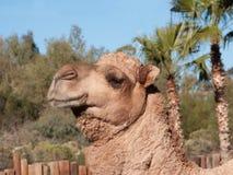 Верблюд дромадера Стоковое Изображение