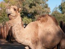 Верблюд дромадера Стоковая Фотография