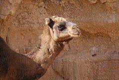 Верблюд дромадера - dromedarius Camelus Стоковое Изображение RF