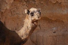 Верблюд дромадера - dromedarius Camelus Стоковая Фотография