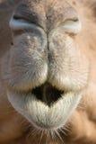 Верблюд & x28; дромадер или one-humped Camel& x29; , Зоопарк парка эмиратов, Dh Abu Стоковое Фото