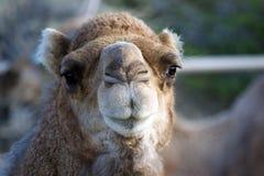 Верблюд смотря в камеру Стоковая Фотография RF