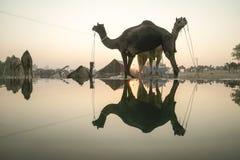 Верблюд справедливое Pushkar 2015 Стоковые Фотографии RF
