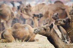 Верблюд справедливый, Раджастхан Pushkar, Индия стоковая фотография rf