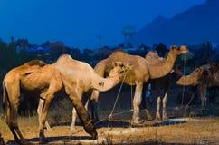 Верблюд справедливый, Раджастхан Pushkar, Индия Стоковые Изображения