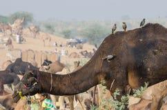 Верблюд справедливый, Раджастхан Pushkar, Индия Стоковые Фотографии RF