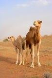 Верблюд с икрой Стоковые Изображения RF