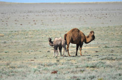 Верблюд с новичком Стоковое Изображение