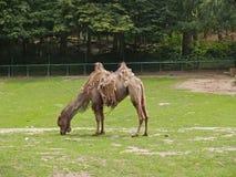 Верблюд увядать two-humped в зоопарке Стоковое фото RF