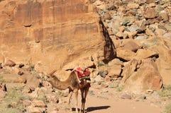 Верблюд утомлен вверх в веснах Лоренса Правильная позиция стоковые изображения